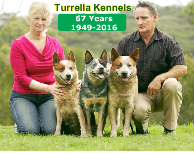 Turrella Kennels - 60 Years of ACDs